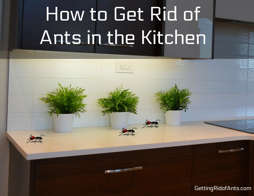 How To Get Rid Of Ants In The Kitchen Safely And For Good