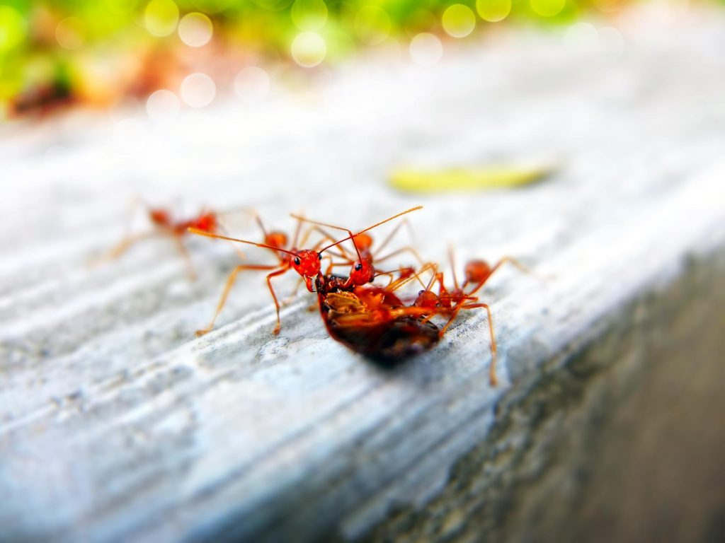 Red ants outside on wood