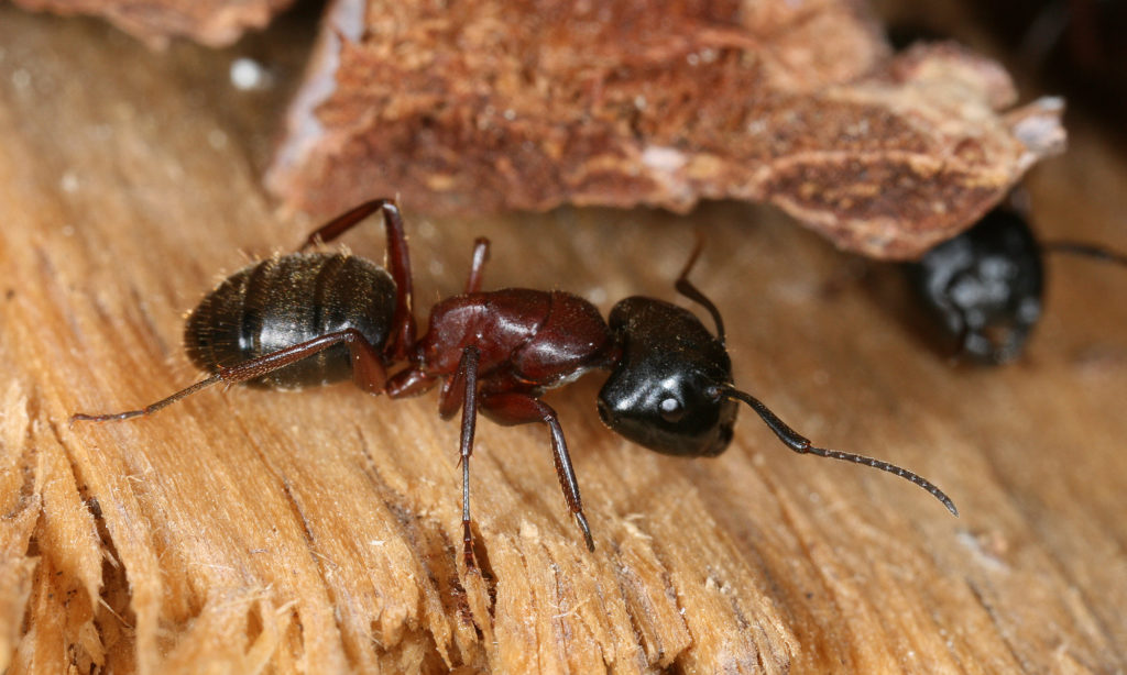 a black and red carpenter ant on wood
