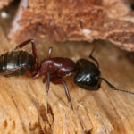 Carpenter Ants: A Detailed Guide