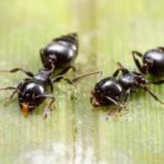 Acrobat Ants: A Detailed Guide to the Species