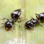 2 acroobat ants