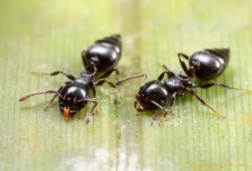 A photo of 2 acrobatic ants