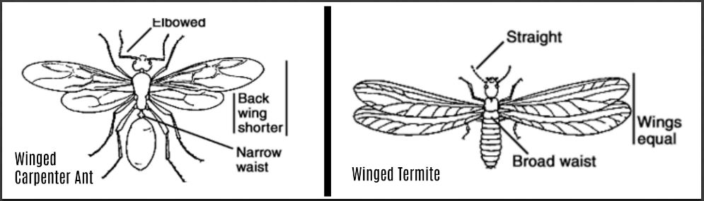 comparison of a winged carpenter ant and a termite